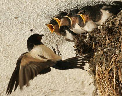 Nguyên nhân nhà yến tăng đàn chậm | Website:vungdatyen.com