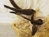 Quá trình chim yến đẻ trứng | Website:vungdatyen.com