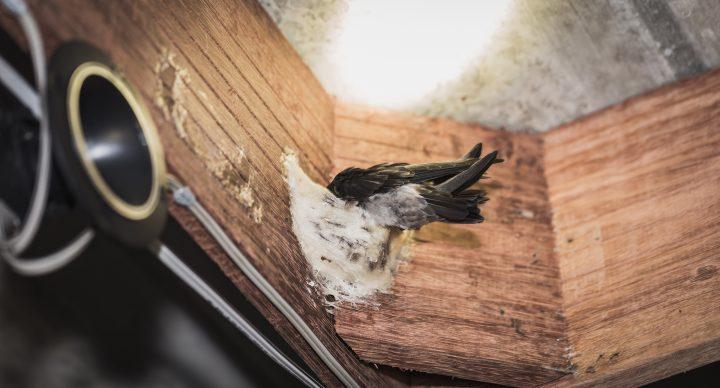 Bạn có biết những điều kỳ thú về chim yến