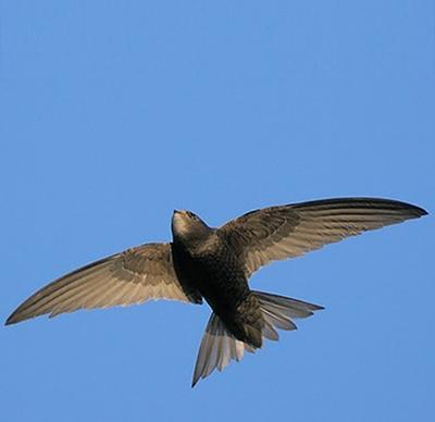 Đường bay của chim yến